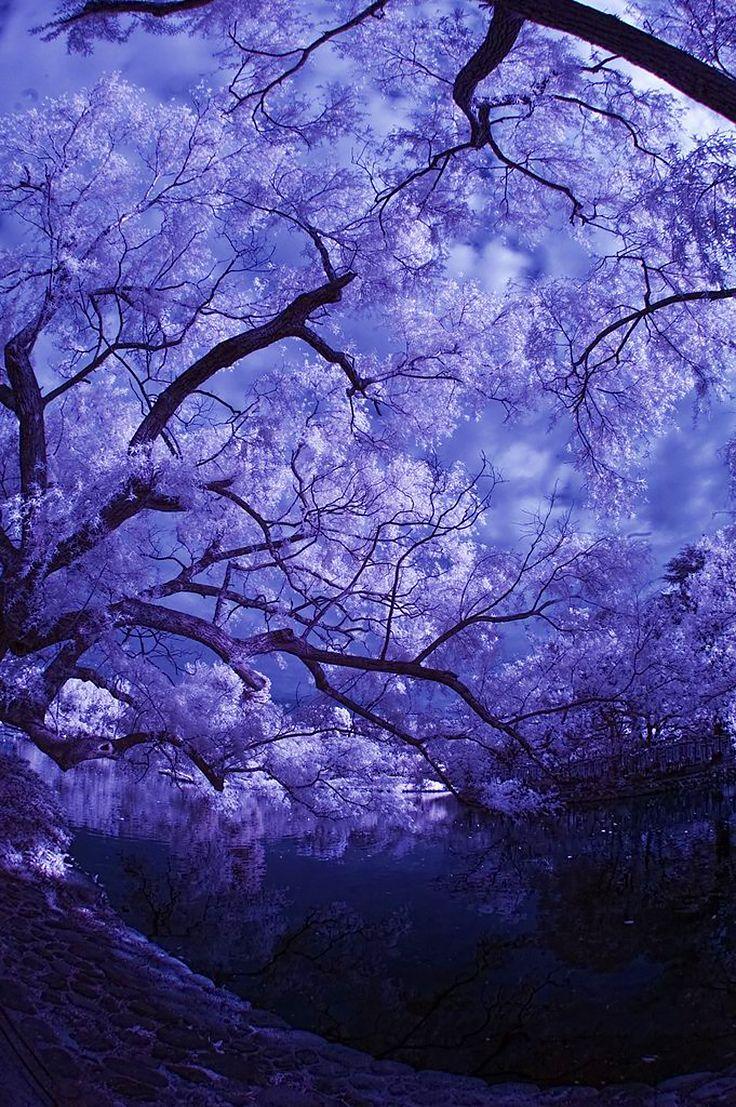 Картинка сакуры дерево сиреневая