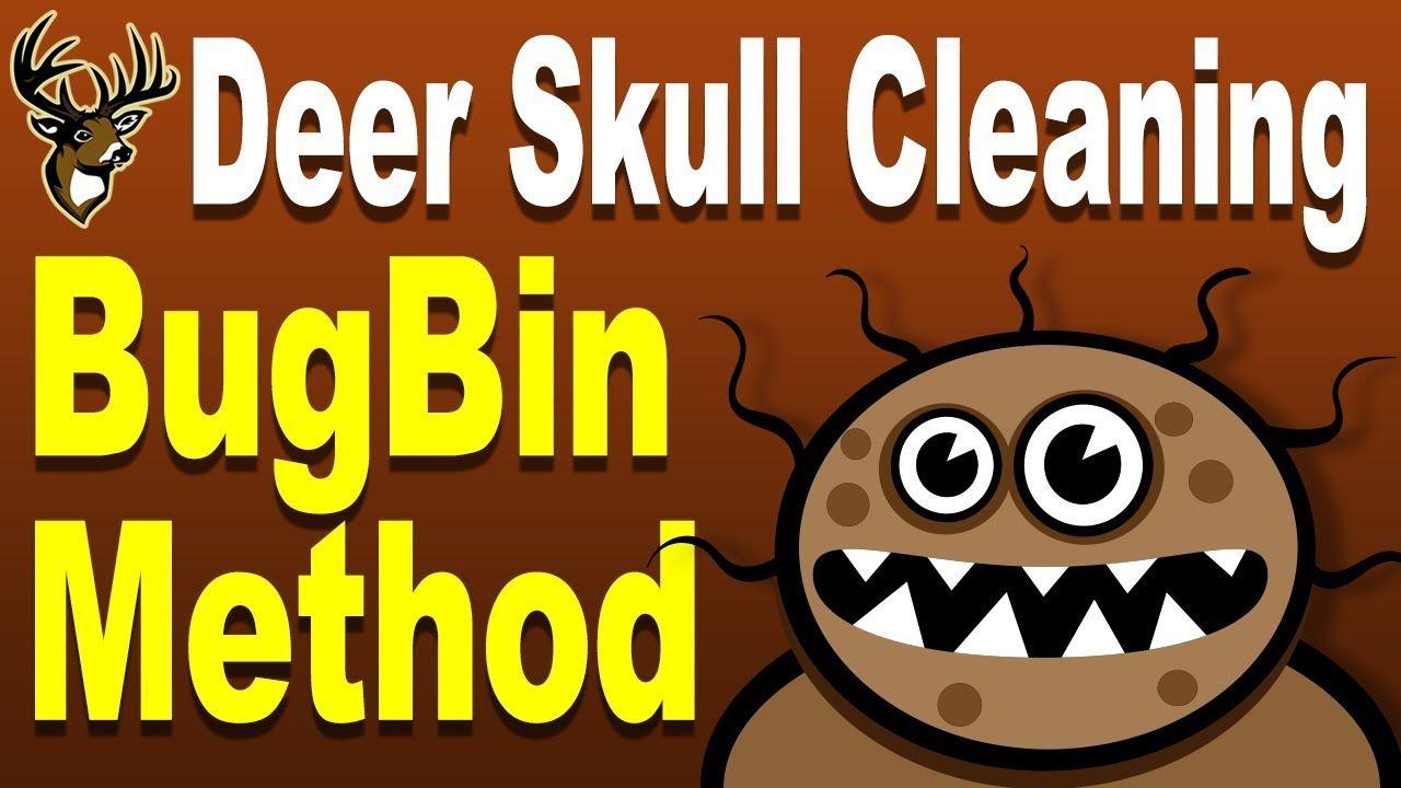 European mount deer skull cleaning using bugs bug bin