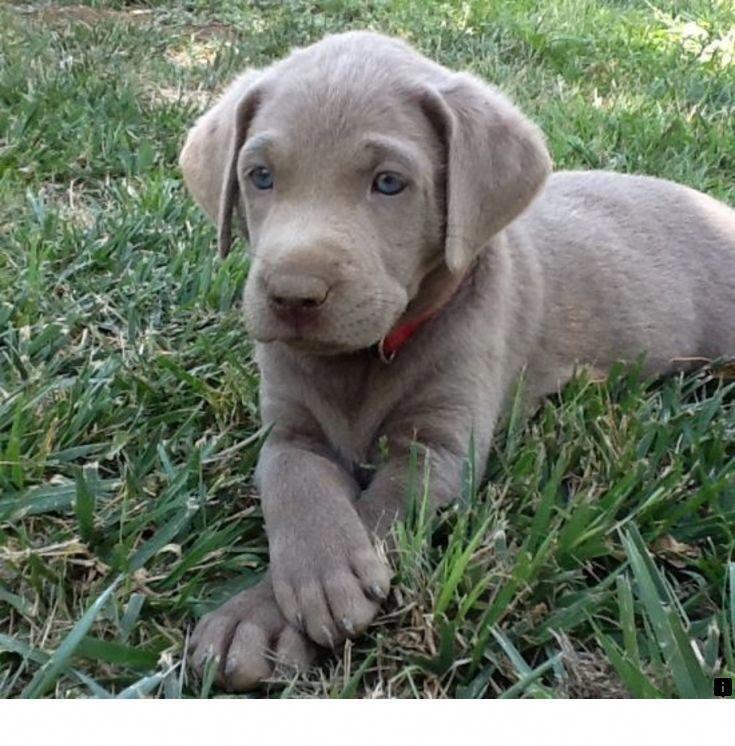 Discover The Enthusiastic Black Labrador Retriever Dog Personality Labradoroftheday Foxredlabrador Labradorpuppies Lab Puppies Puppies Silver Lab Puppies