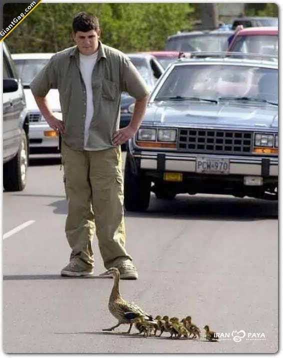 Man got out of his car, stopped traffic so the Ducks could safely cross the road.  Restores faith in people's kindness to animals.