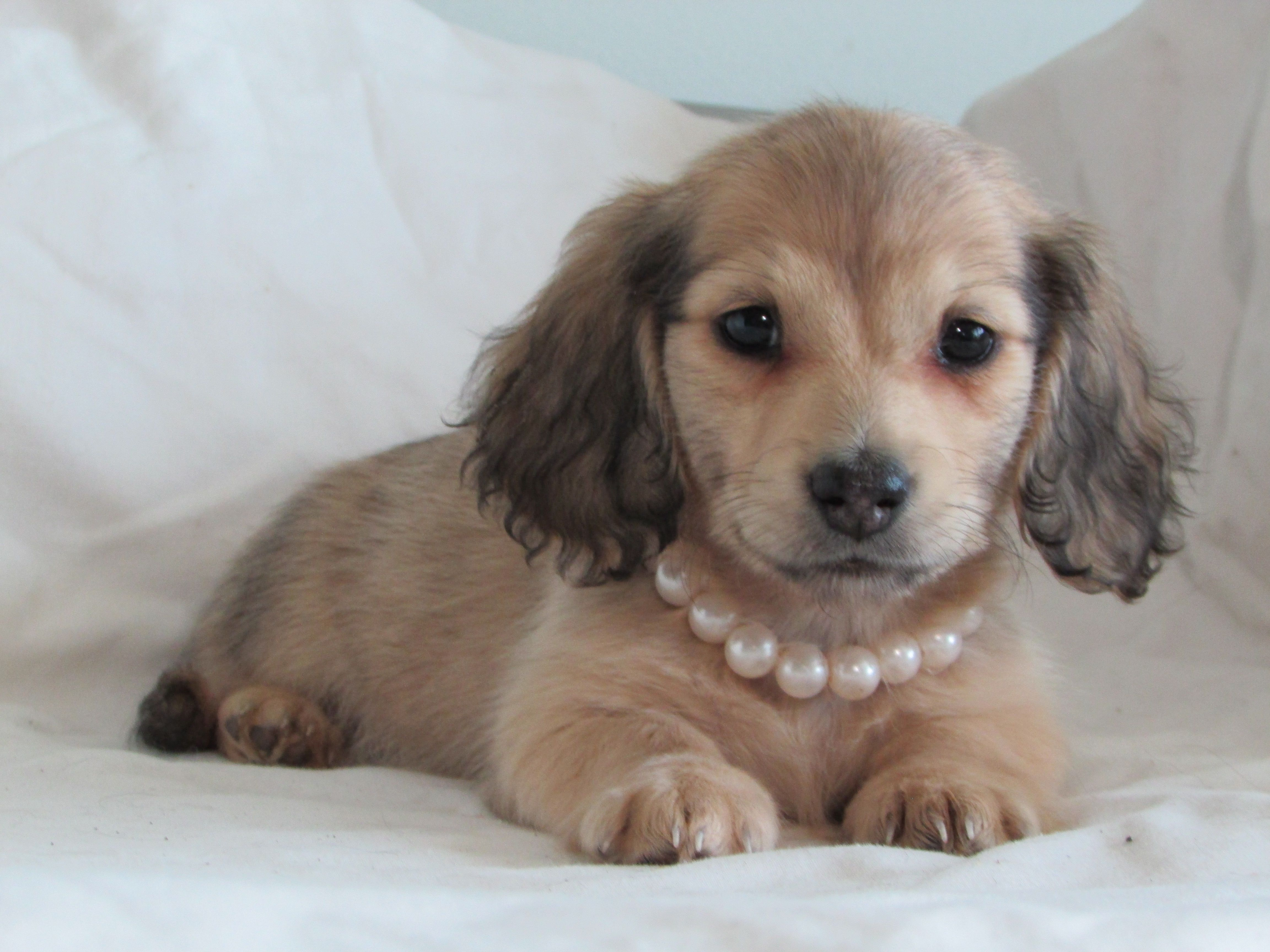 Shaded Cream Longhaired Mini Dachshund Cream Dachshund Dachshund Mini Dachshund