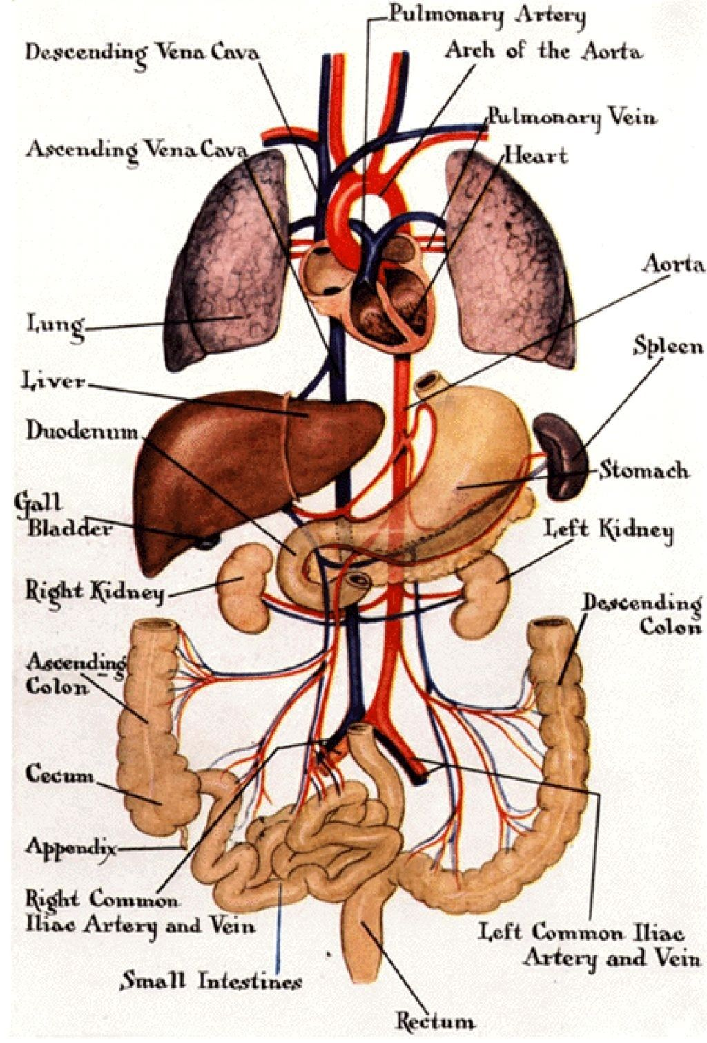 Anatomy Diagram Organs Human Anatomy Organs Pinterest Anatomy
