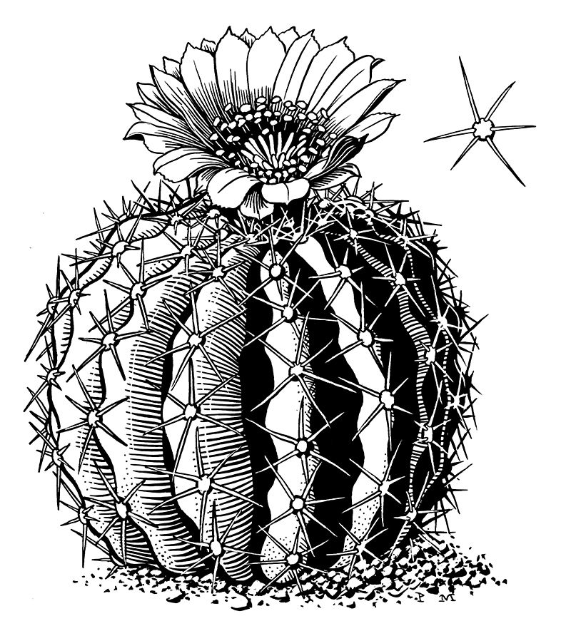 Картинки кактусов карандашом красивые