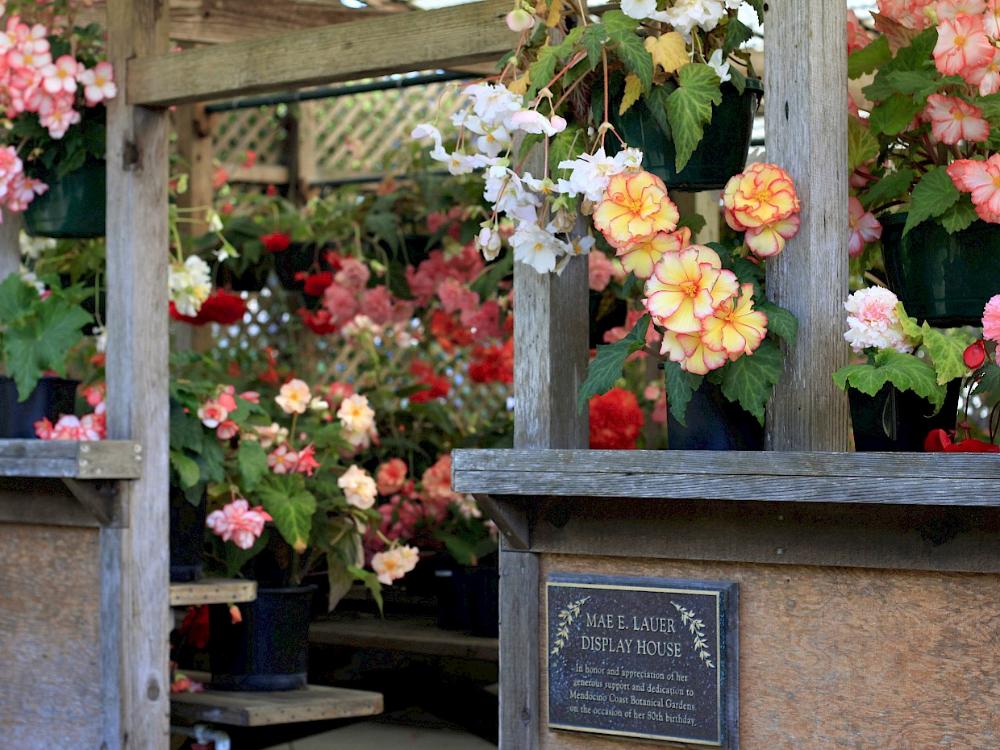 Begonias - Display House - Display Collections & Areas - MCBG Inc. 2020 | Fort Bragg, California