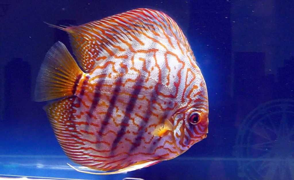 Photo Gallery Of Discus Fish Live Tropical Fish Live Tropical Fish In 2020 Discus Fish Fish Fish Gallery