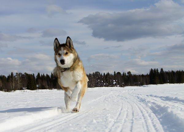Восточно-сибирская лайка (East-siberian laika) | Портал о животных
