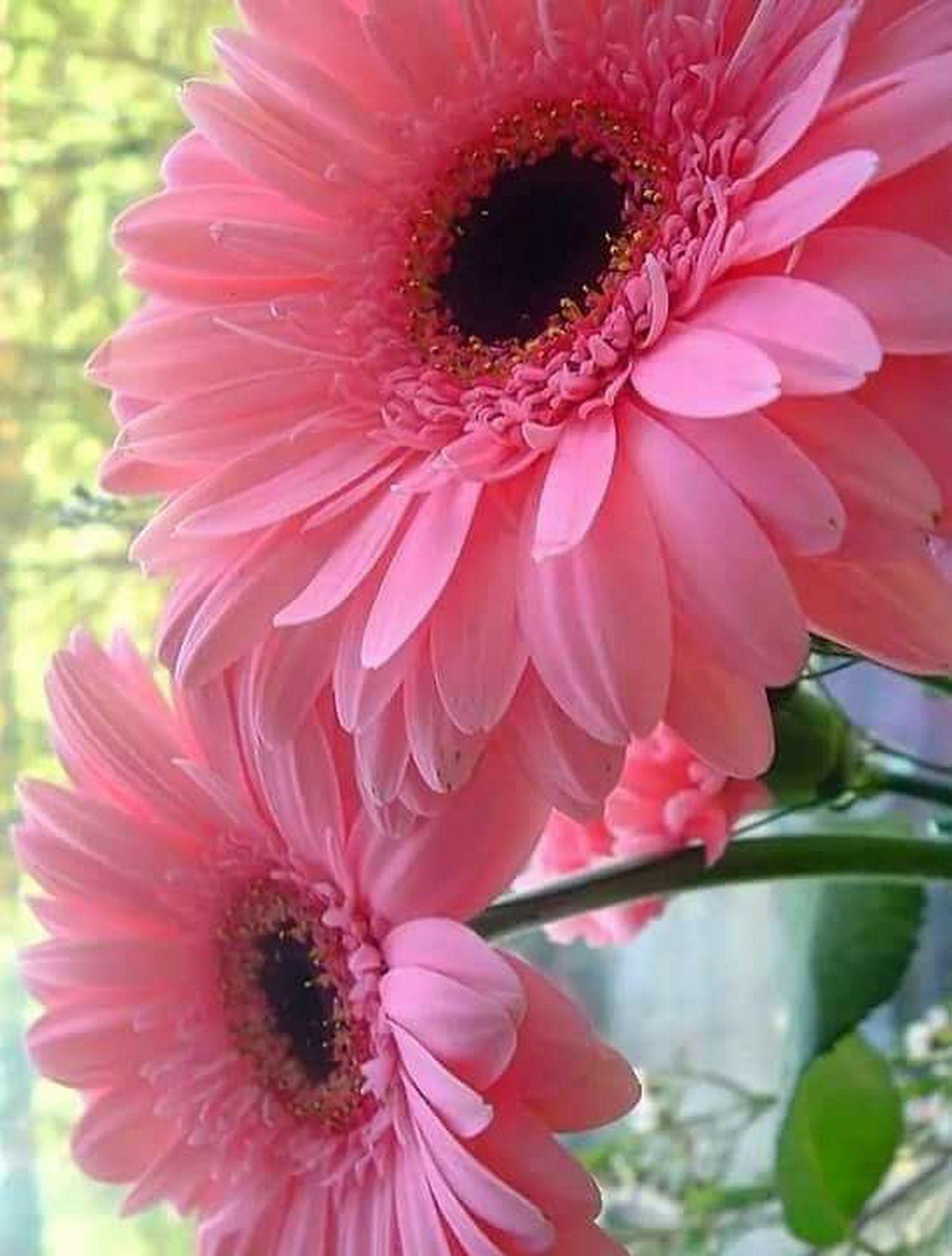 фото цветка герберы остается воплощением