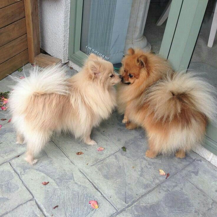 Cream Sable Pom And Red Sable Pom Cute Baby Animals Cute Dogs
