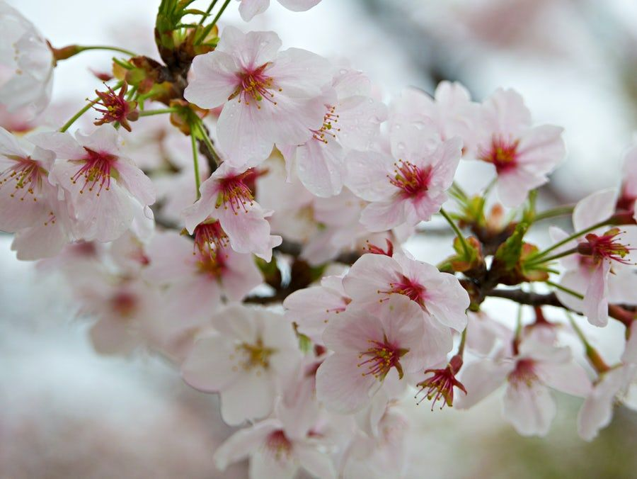 Close Up Photography Of White Petaled Flowers In 2020 Cherry Blossom Images Cherry Blossom Pictures Cherry Blossom Wallpaper