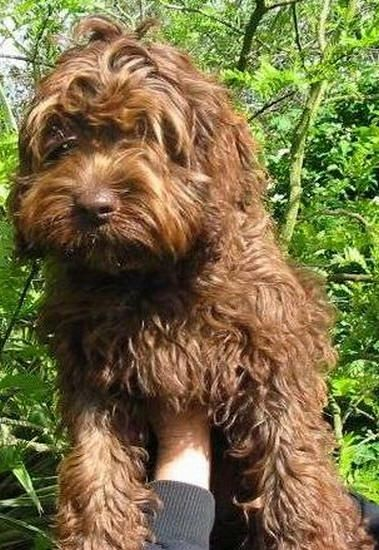 Spoodle - great family pet MyOodle, My Oodle, Oodle, Doodle, Dog