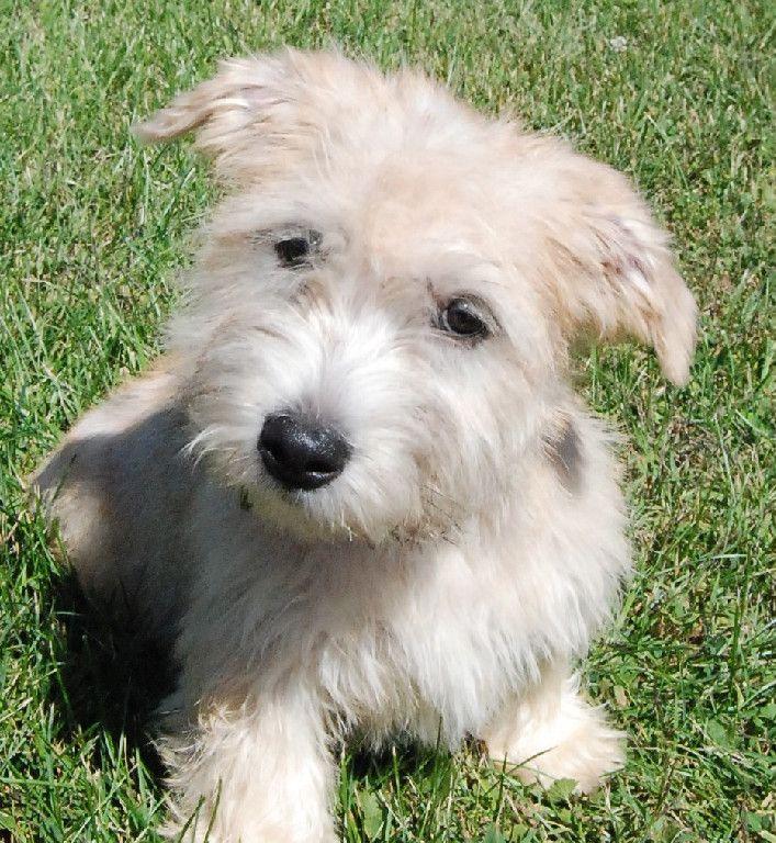 glen of imaal terrier  dogs  puppy