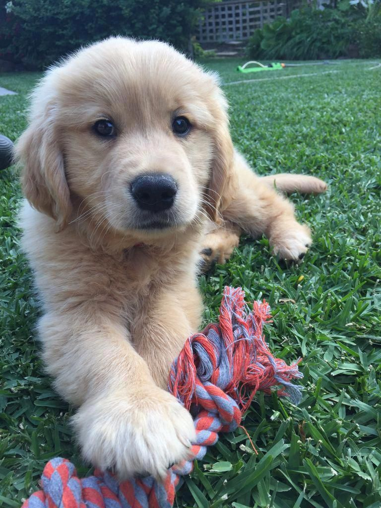 The Outgoing Golden Retriever Puppies Size