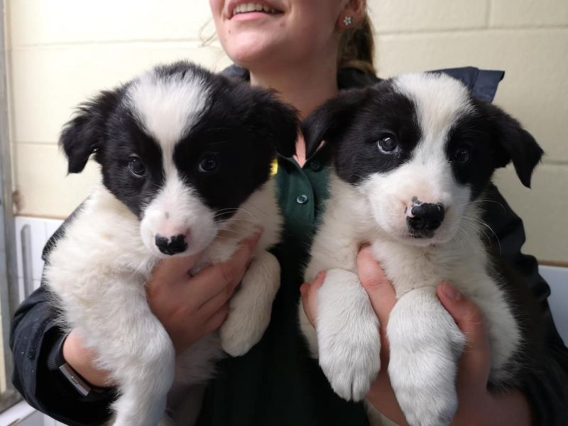 Updated The Dog S Trust Is Looking For Forever Homes For 14 Collies Dogs Trust Dogs Border Collie Puppies