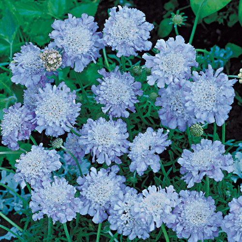 Flowers Grown In Winter: Butterfly Blue Scabiosa Pincushion Flower Plant Blooms All
