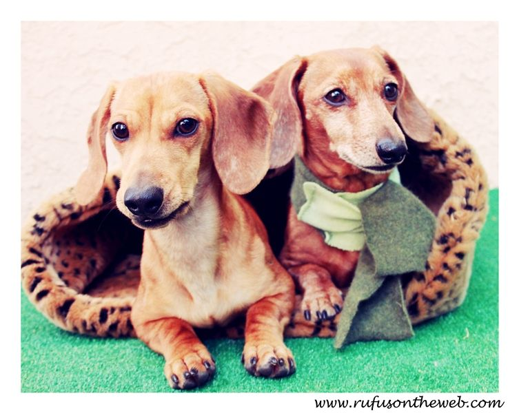 Pin by Johnny OrtezTibbels on I love dachshunds