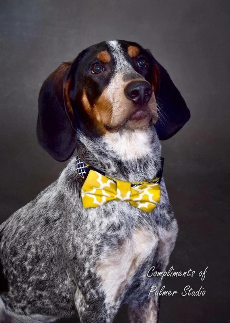 Adopt Chief *Courtesy Listing* on Bluetick coonhound
