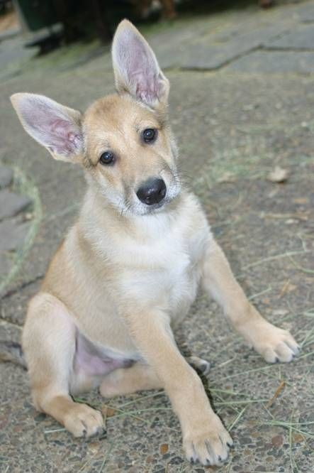 Carolina Dog Puppy I Want One Closest To A Dingo I Could Probably Get