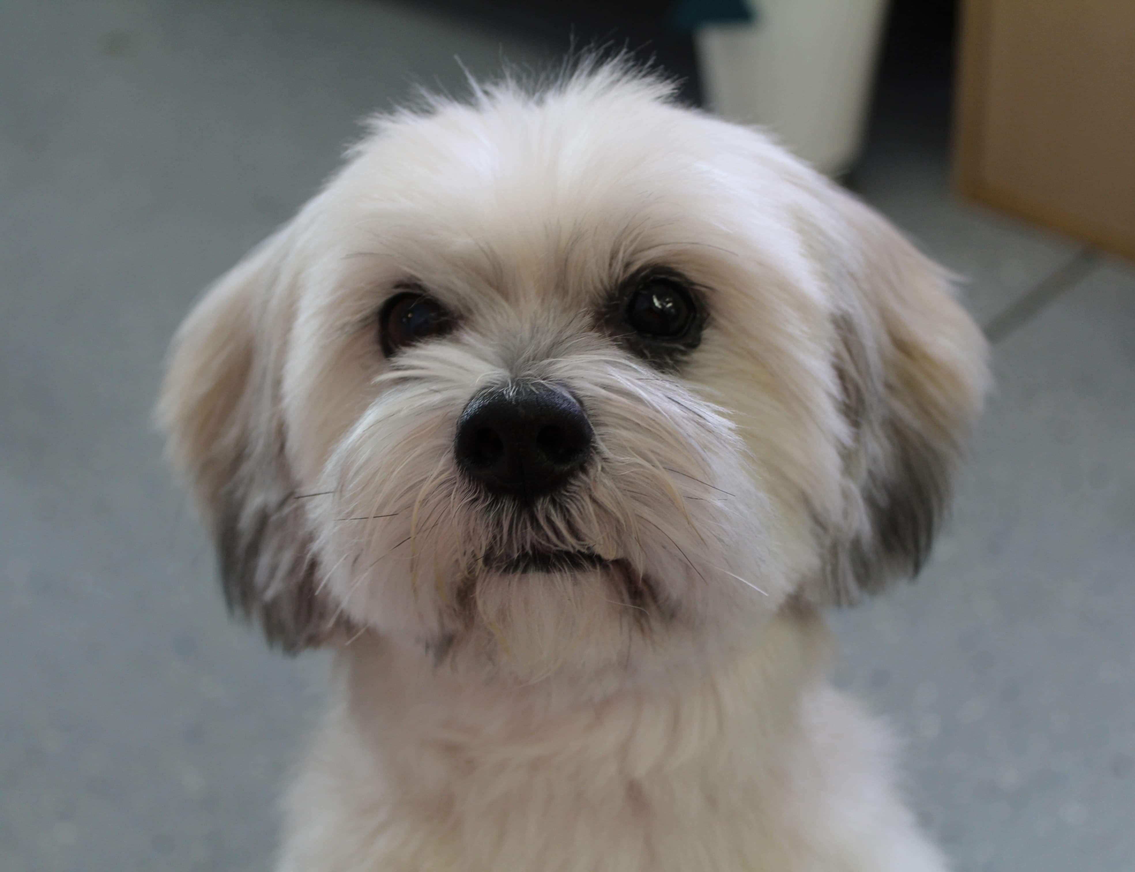 Adopt Chelsea Turner On Dog Adoption Lhasa Apso Help Homeless Pets