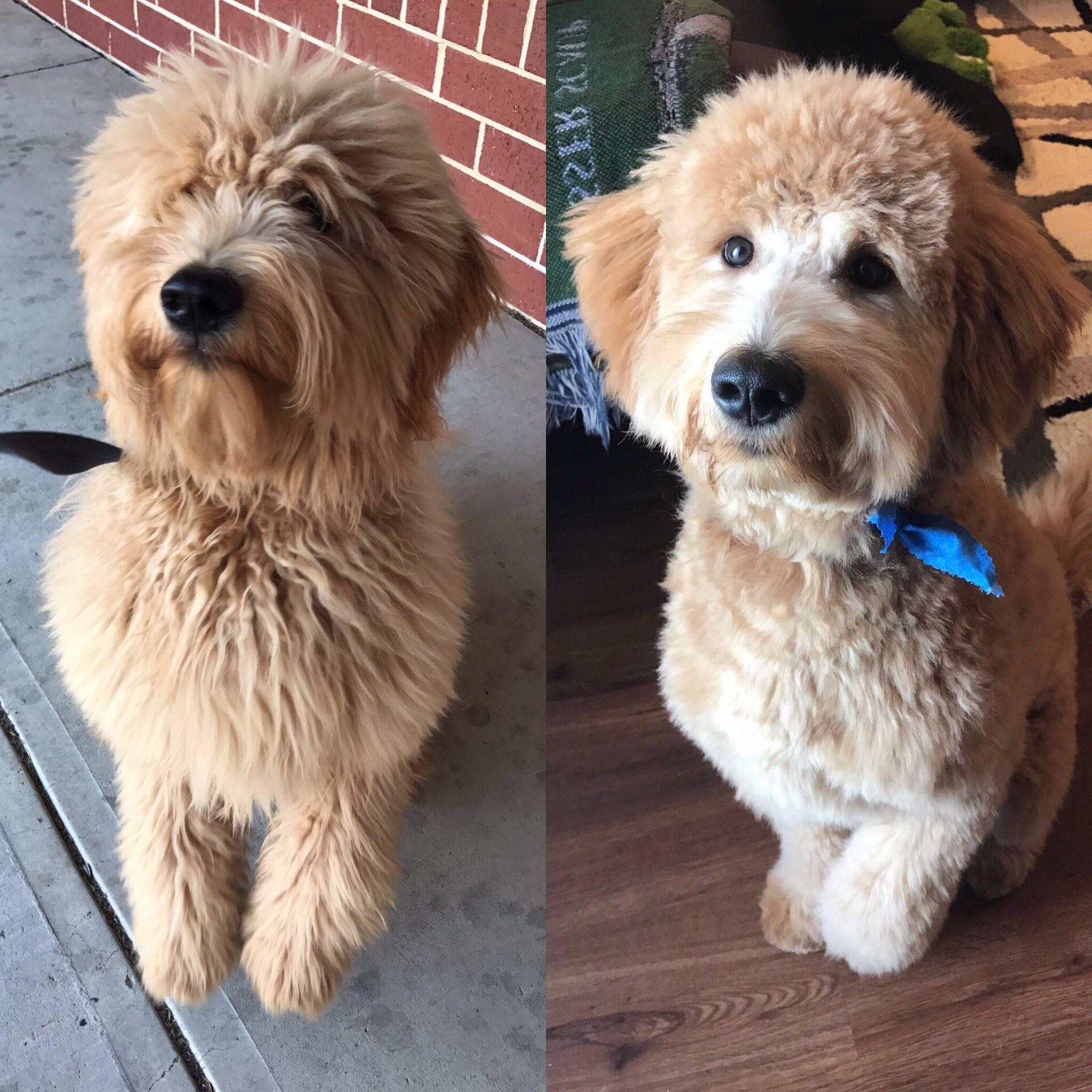 Goldendoodle Haircut 6 Months Goldendoodle Doodles Dog Puppy