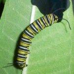 Monarch_20120921