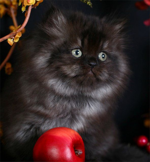 Past Kittens Persian Kittens Cat Pics Black Smoke Cat