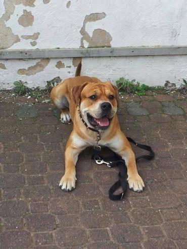 Hund Old English Bulldog Mischling Rude 5 Jahre In Herschbach Rheinland Pfalz Tierschutz Hunde Haustier Hunde
