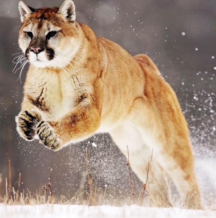 Leaping Mountain Lion Mountain Lion Wild Animal Wallpaper Wild Cats
