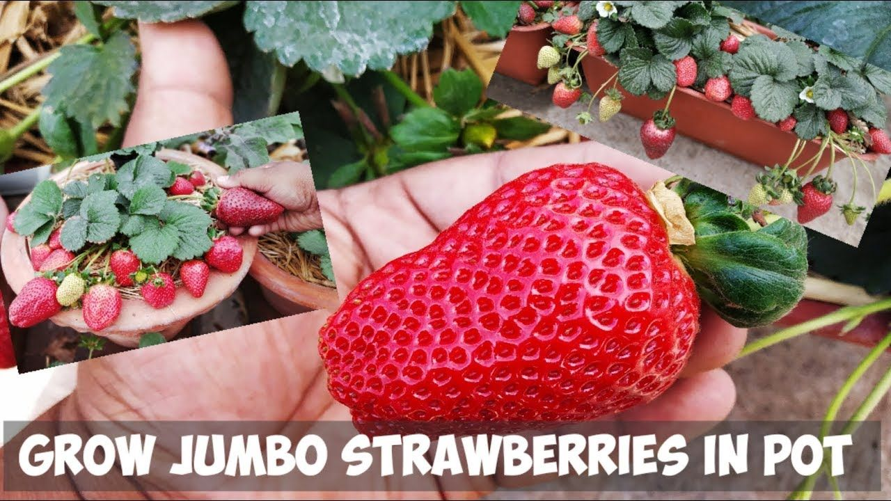 How To Grow Jumbo Strawberries In Pot Step By Step Guide Youtube Growing Strawberries In Containers Growing Strawberries Strawberries In Containers