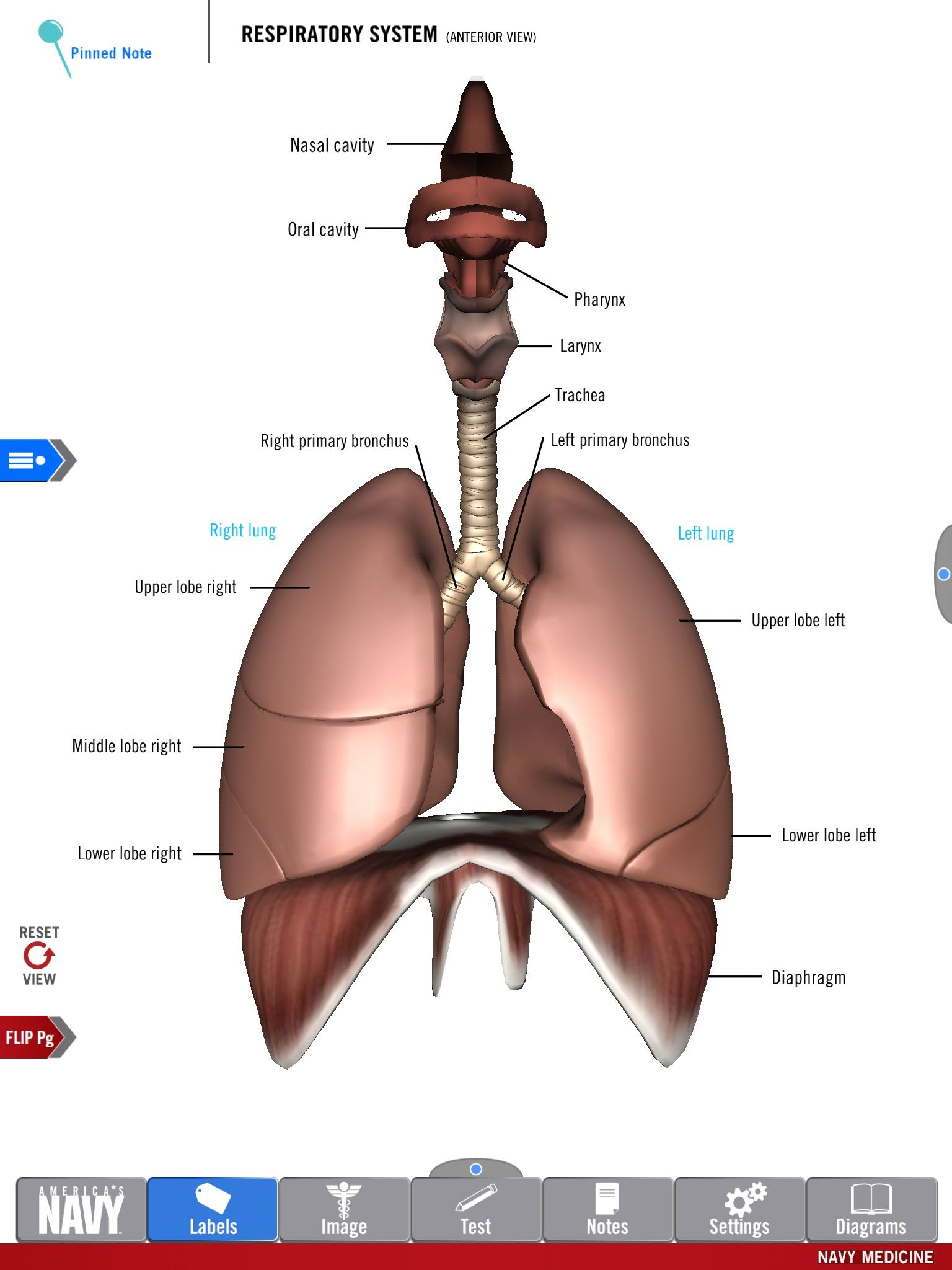 Diagram of the Respiratory System from the free Anatomy Study Guide ...