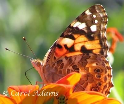 Her name is Painted Lady. Would love to see her too!