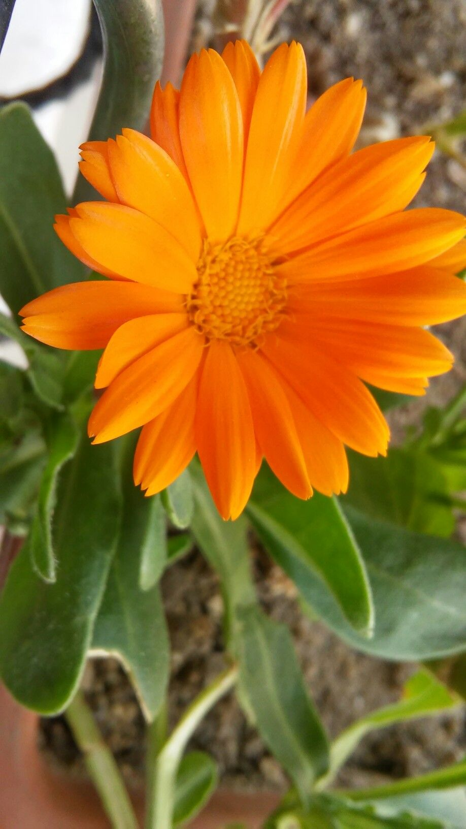 1101f6763 Calendula - beautiful and edible List Of Flowers, Annual Flowers, All  Flowers, Amazing