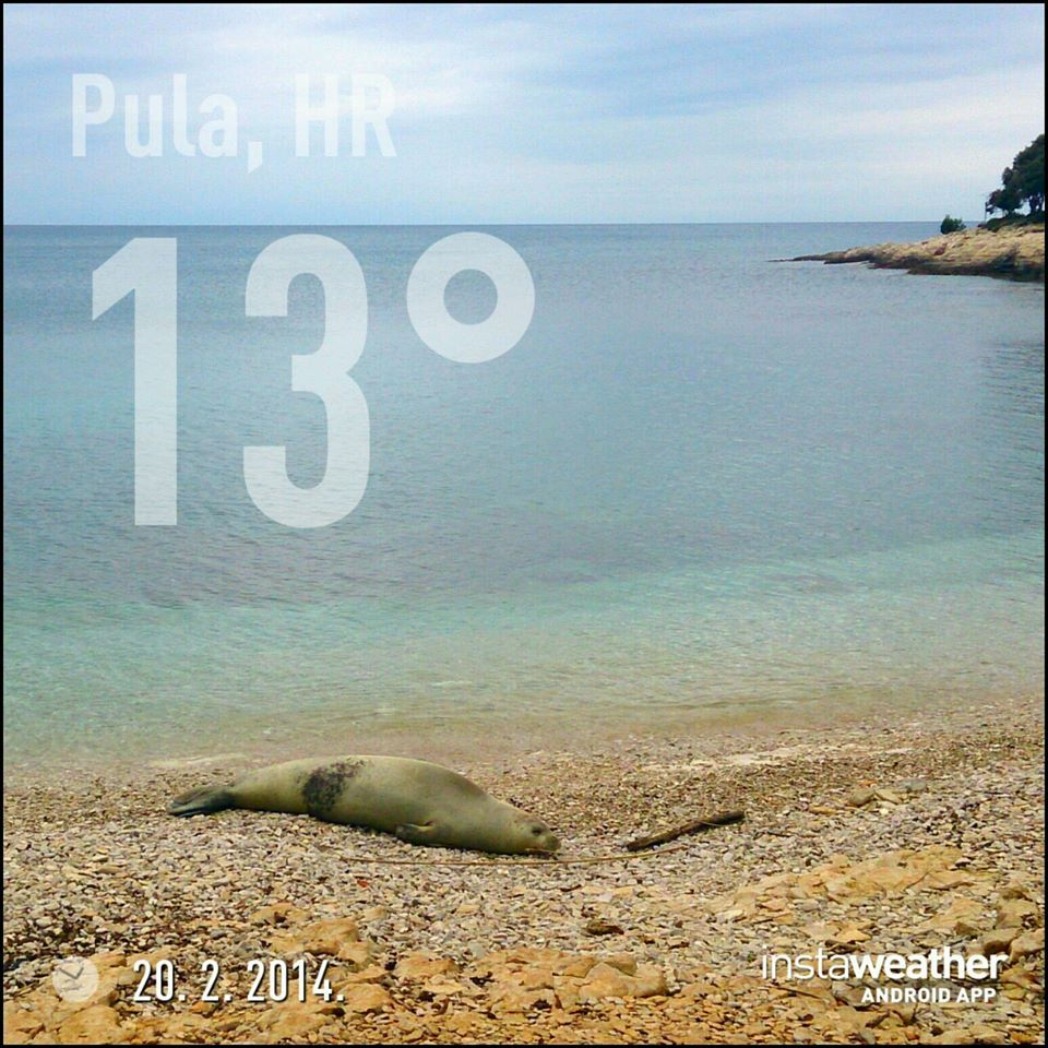 Mittelmeer Mönchsrobbe in Pula Pula Istrien Kroatien Tiere Natur