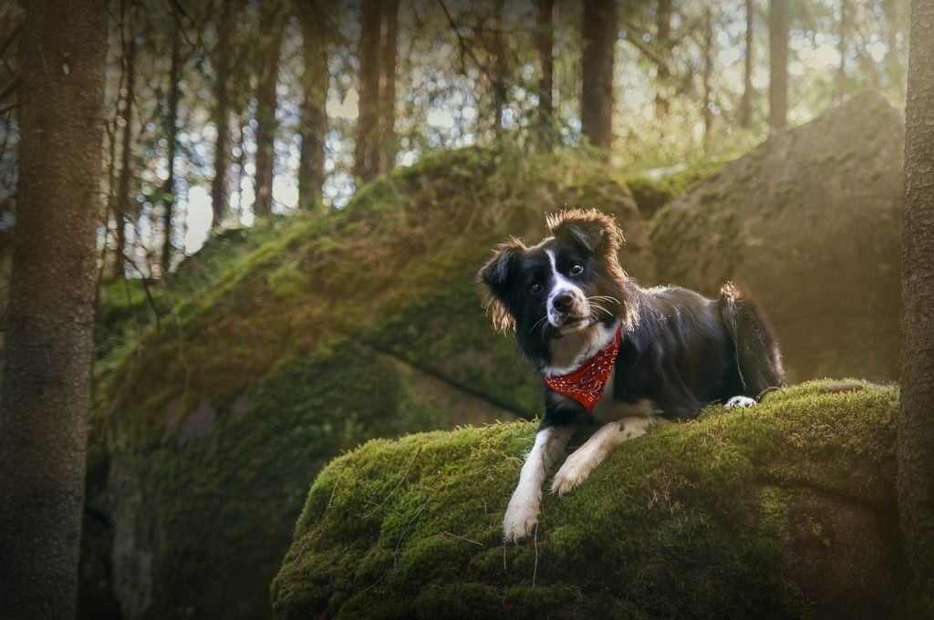 Border Collie Stare Pet Dog Wallpaper Dog Wallpaper Cool Pets