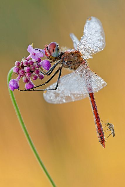 Flickr: Dragonfly of the Day from the Dragonfly Gallery She looks like a ballerina!