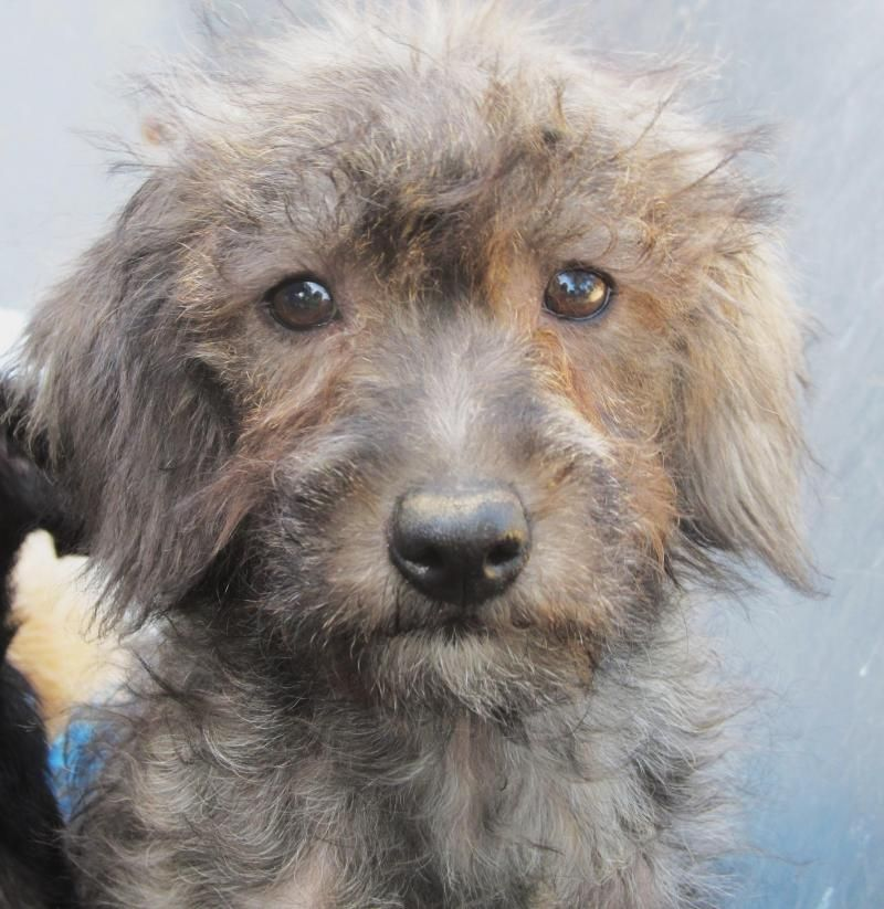 Adopt Asher On Petfinder Poodle Dog Schnauzer Mix Dogs