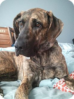 Bellbrook Oh Mastiff Great Dane Mix Meet Paige A Dog For