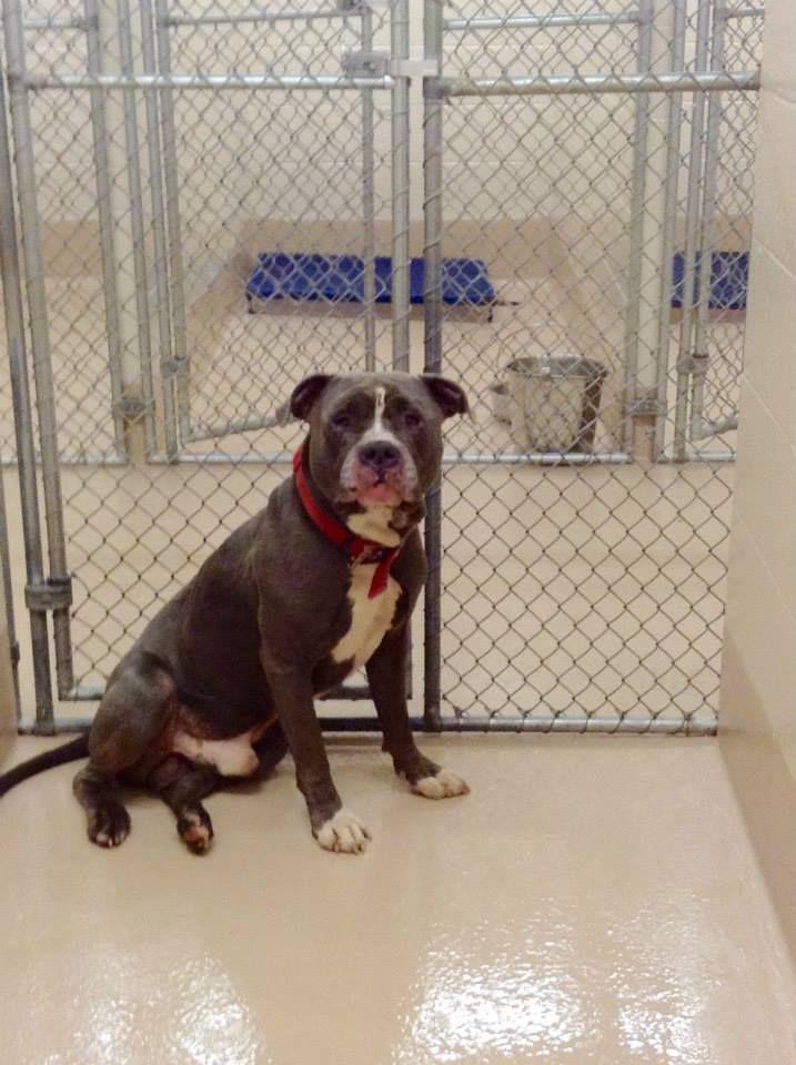 Pin By Samantha Jones On Animals In Need Animals Pitbulls Shelter