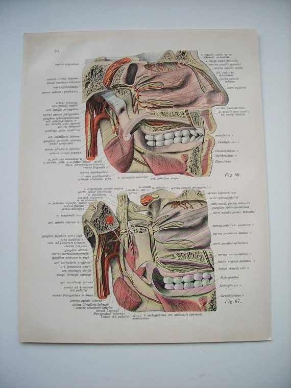 Teeth chart medical poster head anatomy paper ephemera recycle human ...