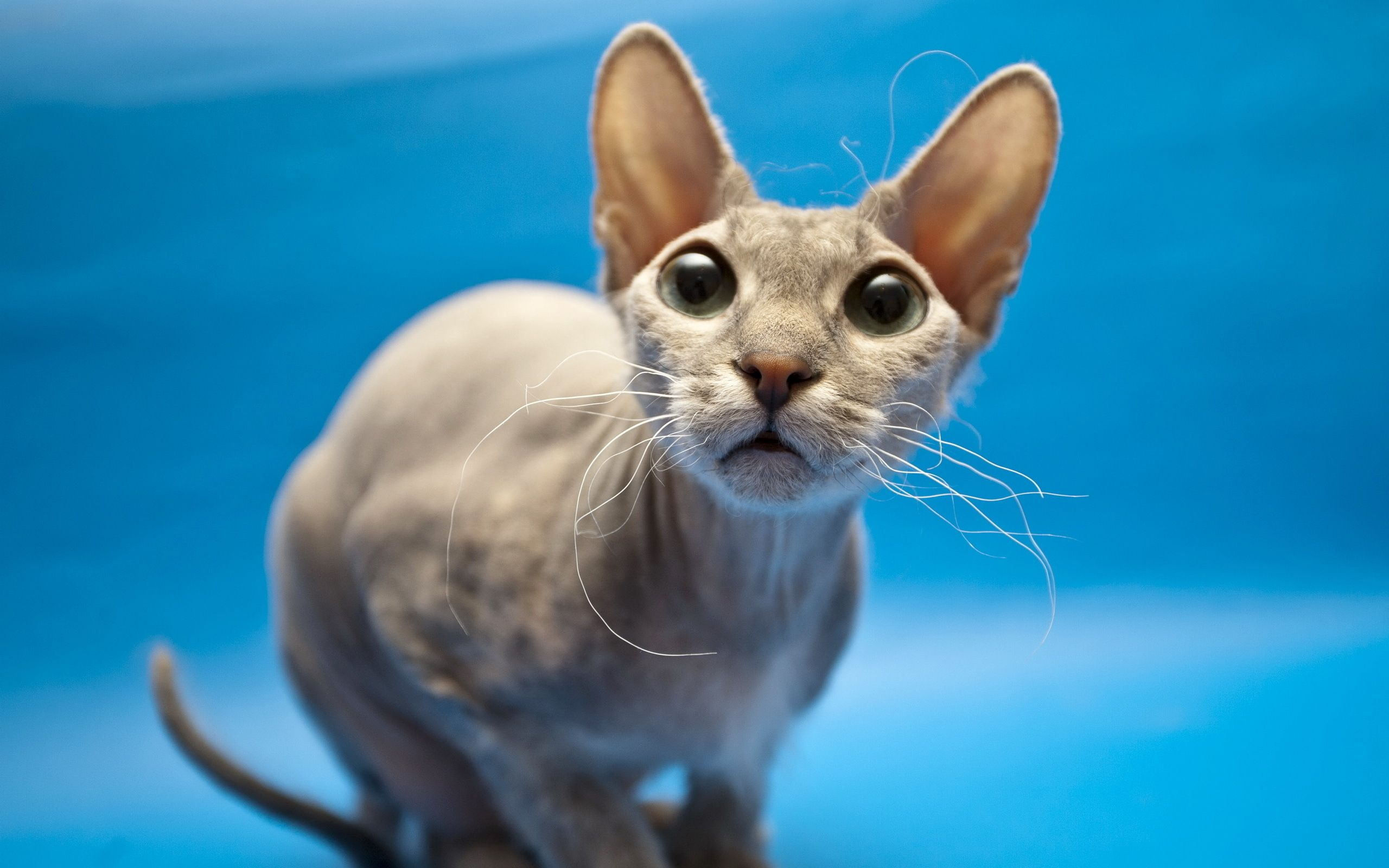 Sphynx Cat 997016 Cat breeds with pictures, Black cat