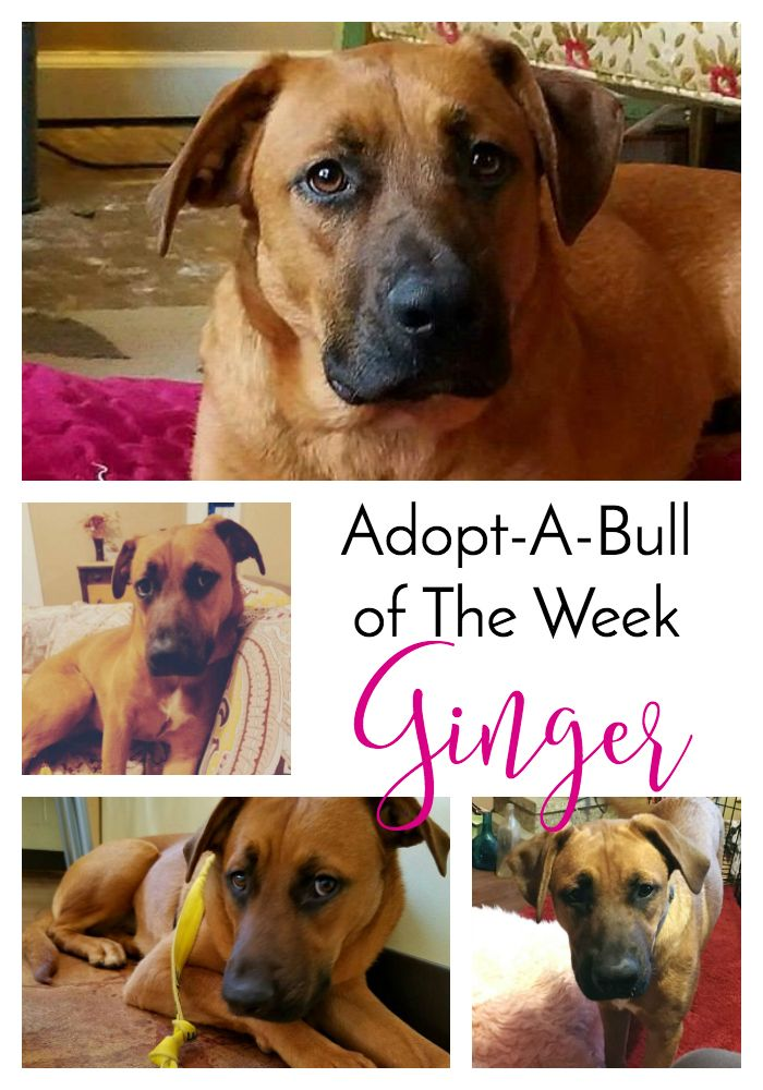 AdoptABull of The Week Ginger in Adoption