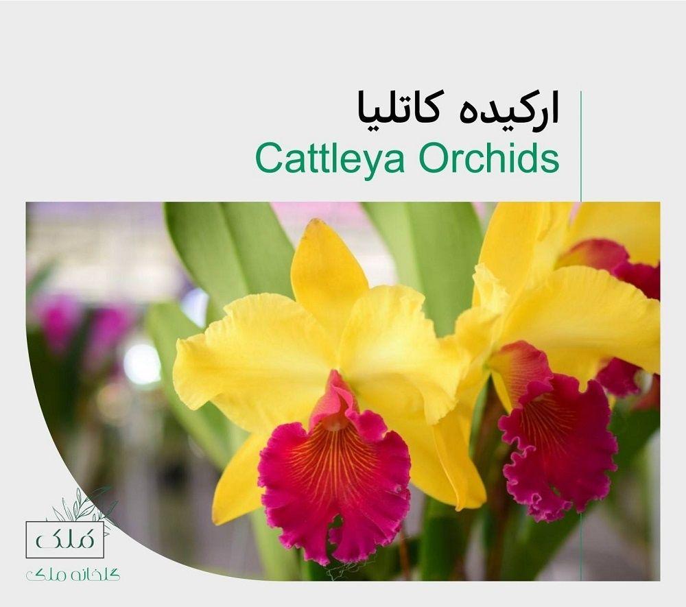 زیباترین انواع گل ارکیده Cattleya Orchid Cattleya Orchids