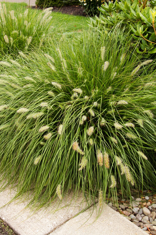 Karley Rose Oriental Fountain Grass Monrovia Karley Rose Oriental Fountain Grass Ornamental Grasses Fountain Grass Grasses Landscaping
