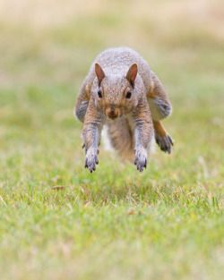 Eastern gray squirrel 108: Nuts? Here I come!!! by EasternGraySquirrel