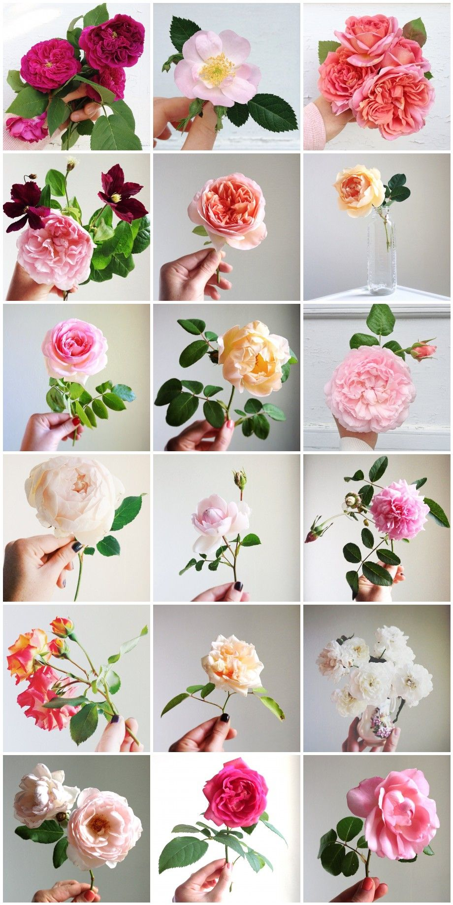 Simple Rose Garden: Simple Beauty Rose Series Via HedgerowRose.com