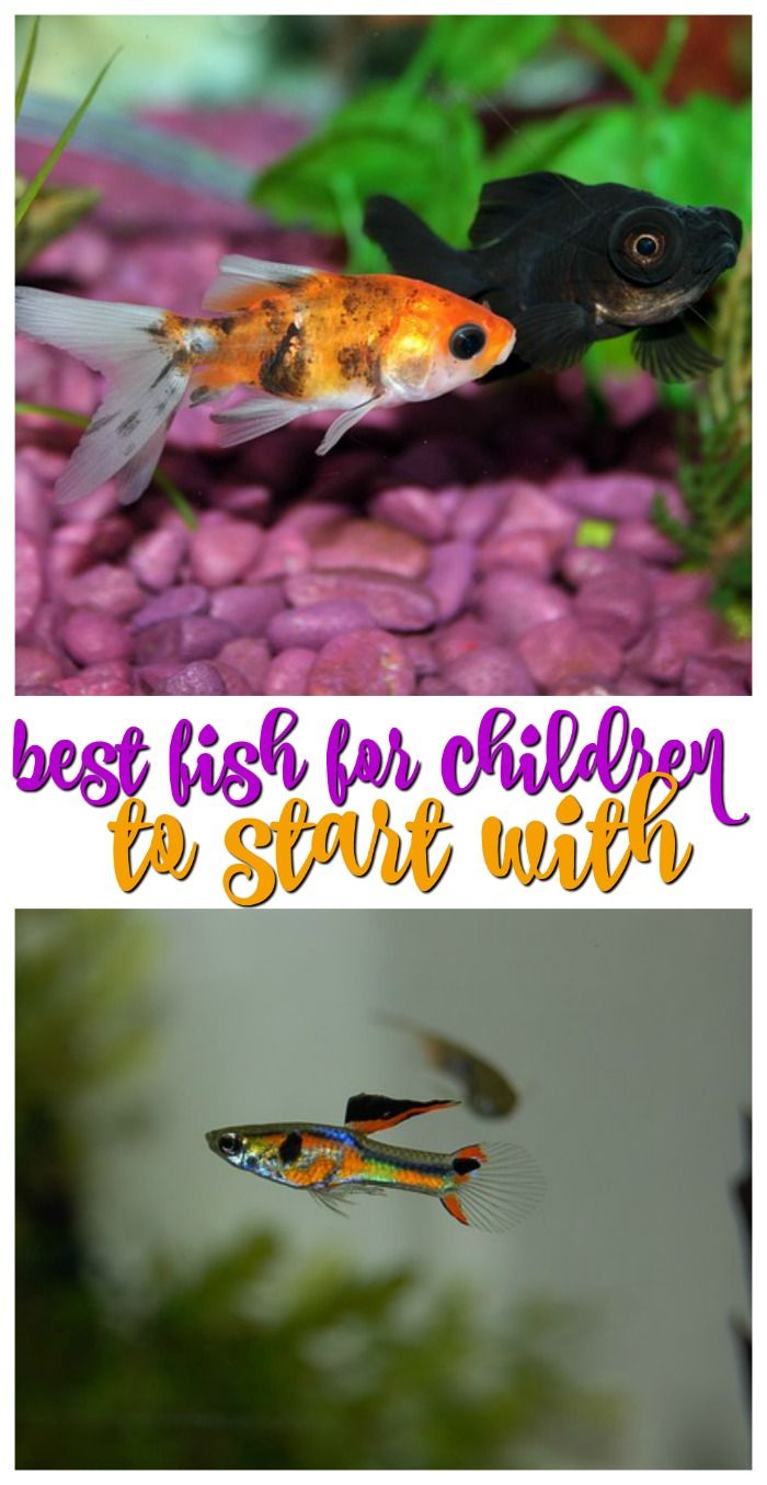 Best Fish For Children to Start With and Learn Pet fish