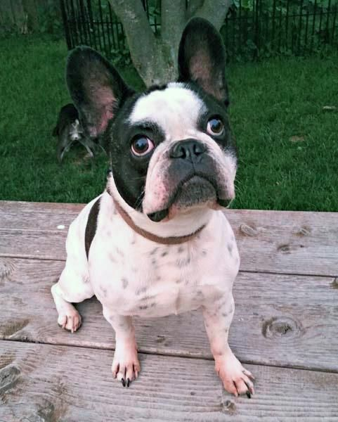 Meet Tucker An Adoptable French Bulldog Looking For A Forever