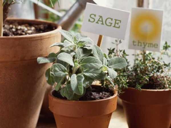 Starting An Indoor Herb Garden Find Out 12 Best Herbs To Grow Indoors These Are Easiest And Require Less Care
