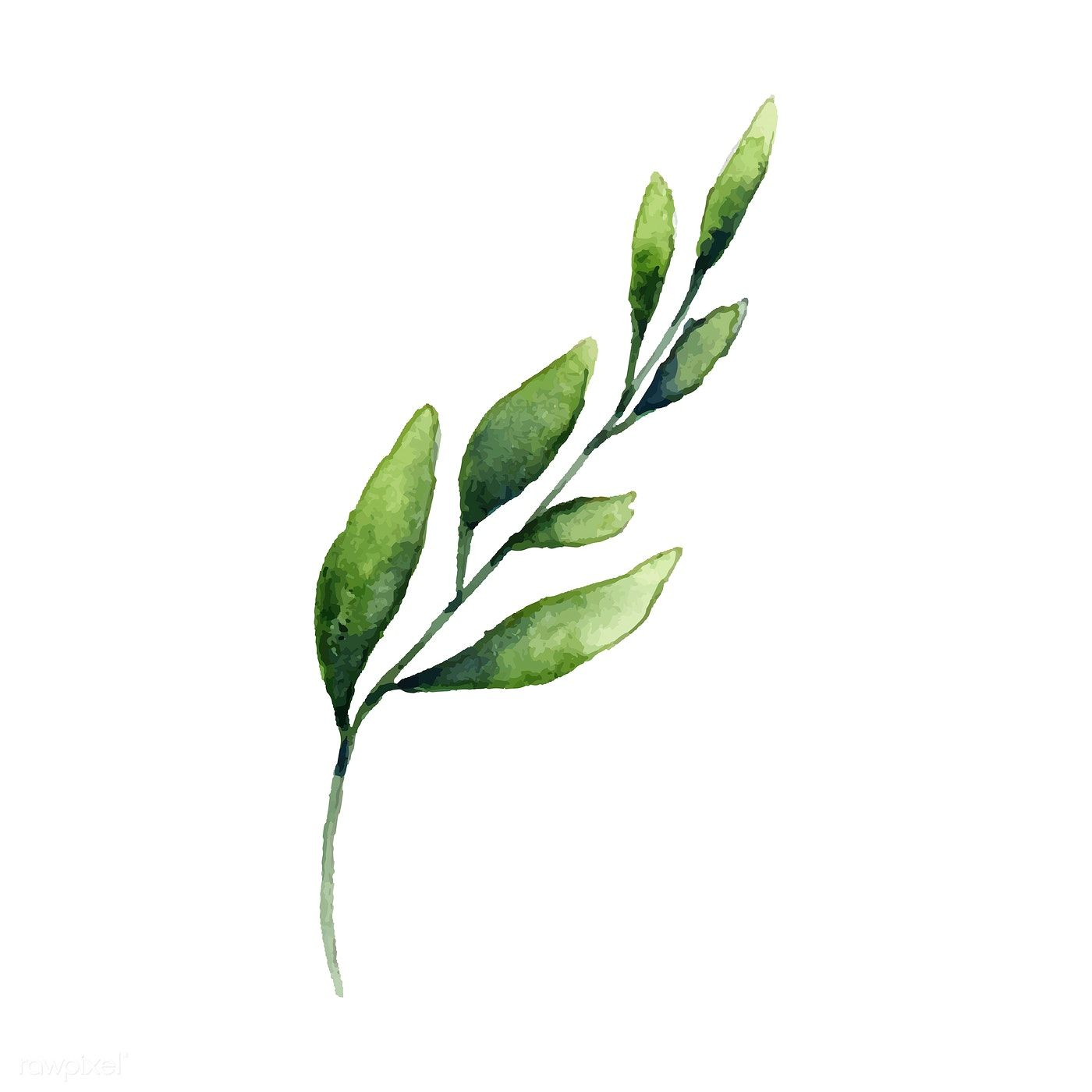 Hand Drawn Olive Branch Watercolor Style Vector Free Image By