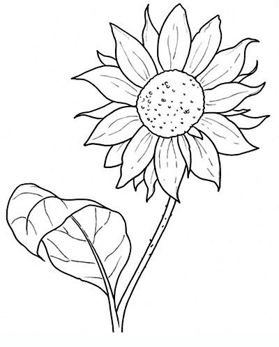 Sunflower drawings of flowers for teens and adults for Coloring pages of sunflowers