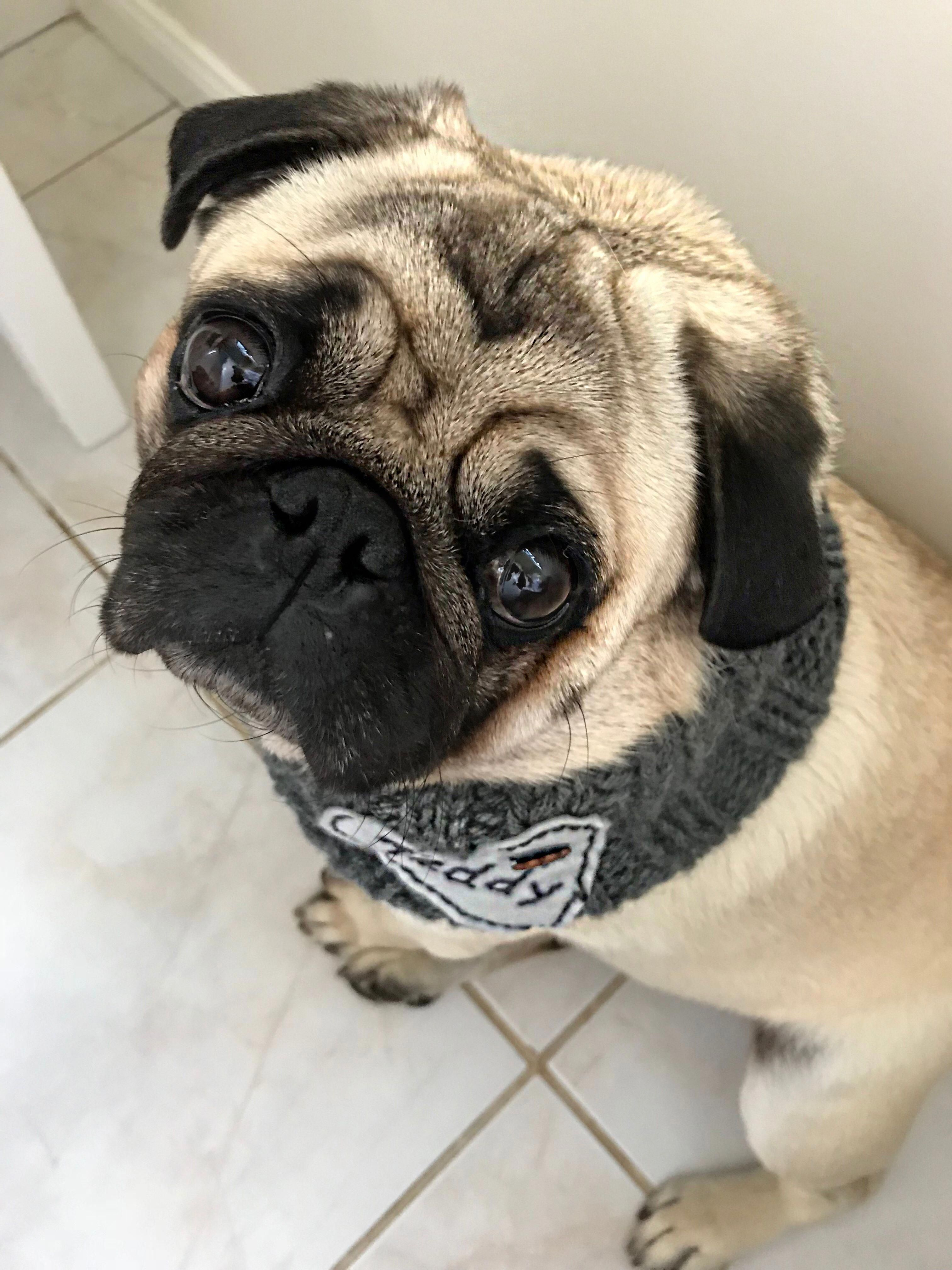 Find Out More Details On Pug Dogs Have A Look At Our Website Pugs